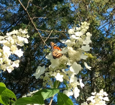 monarch on white hydrangea